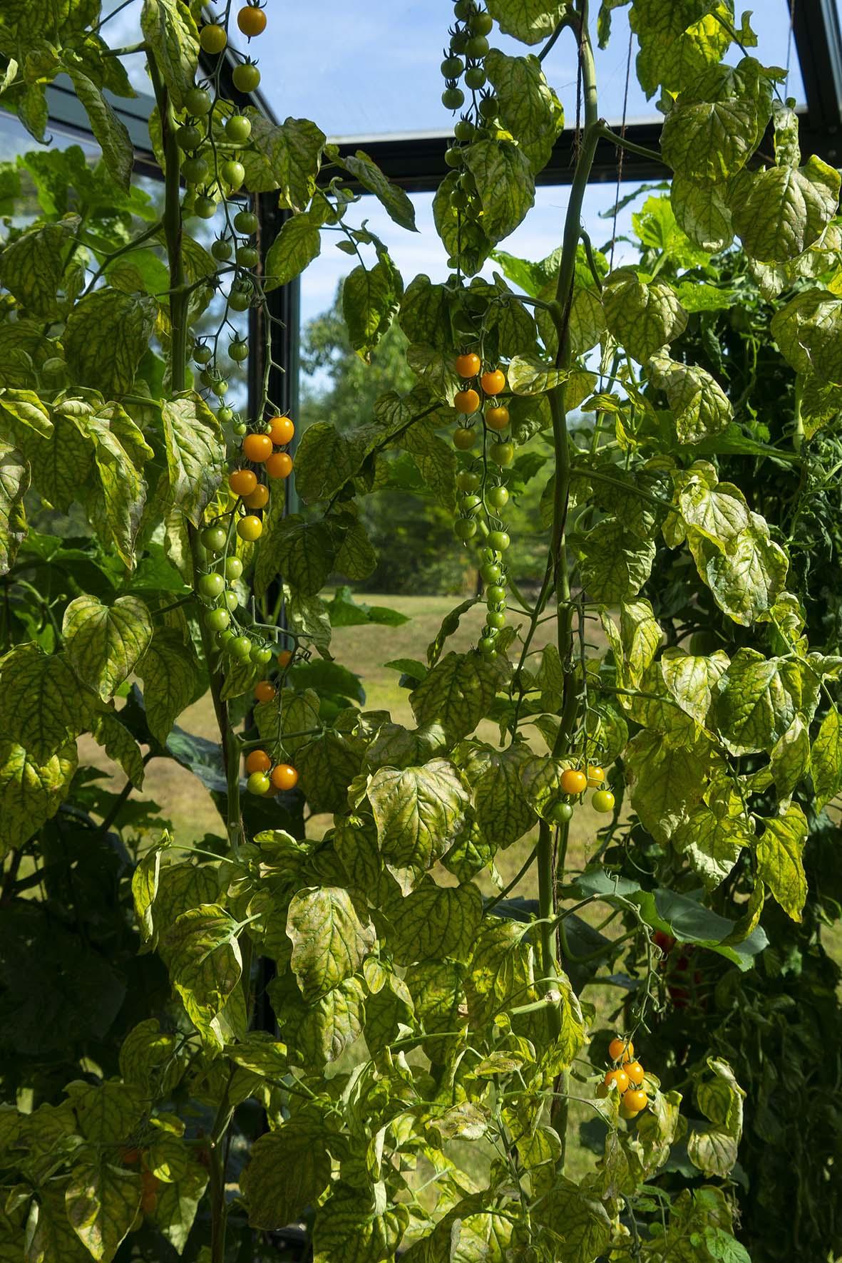 Top Tomaten im Gewächshaus pflanzen – Tipps für eine reiche Ernte &QP_29
